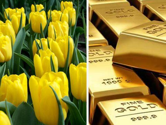 Tulip vs Gold